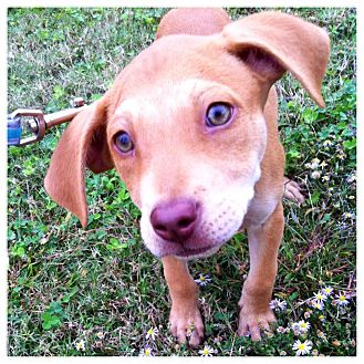 Labrador Retriever Mix Puppy for adoption in Memphis, Tennessee - GUNNER