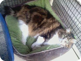 Polydactyl/Hemingway Cat for adoption in West Hills, California - Mr. Biggins