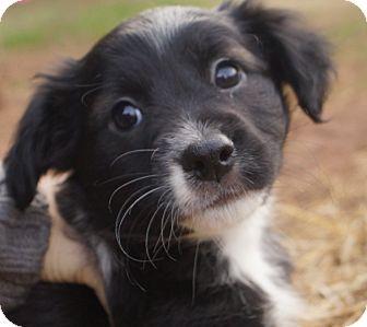 Boston Terrier Mix Puppy for adoption in Newark, Delaware - Heidi