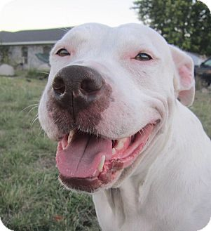 American Pit Bull Terrier/American Bulldog Mix Dog for adoption in Copperas Cove, Texas - Theena