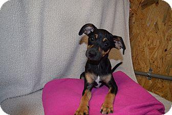 Italian Greyhound Mix Puppy for adoption in Newtown, Connecticut - Annie Oakley