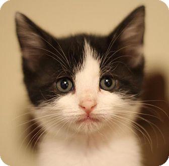 Domestic Shorthair Kitten for adoption in Winston-Salem, North Carolina - Bubbles