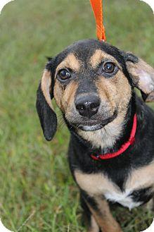 Beagle/Hound (Unknown Type) Mix Dog for adoption in Waldorf, Maryland - Kora II