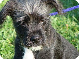 Terrier (Unknown Type, Medium)/Standard Schnauzer Mix Dog for adoption in Newburgh, Indiana - Rugby - CUTE !