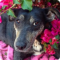 Adopt A Pet :: Angel **Video** - Pasadena, CA