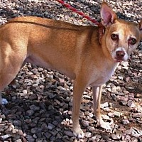 Basenji/Terrier (Unknown Type, Medium) Mix Dog for adoption in Gilbert, Arizona - Jovi