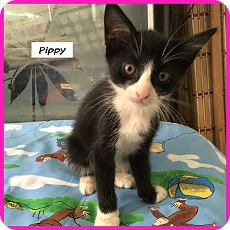 Domestic Shorthair Cat for adoption in Miami, Florida - Pippy