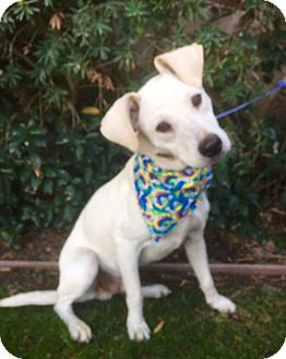 Labrador Retriever/Shepherd (Unknown Type) Mix Dog for adoption in Irvine, California - CASPER