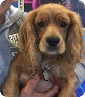 Cocker Spaniel Dog for adoption in Sugarland, Texas - Rudy