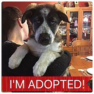 Husky/Shepherd (Unknown Type) Mix Puppy for adoption in Regina, Saskatchewan - Ares