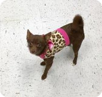 Chihuahua Mix Dog for adoption in Shawnee Mission, Kansas - Mocha