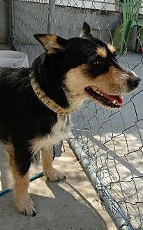 Corgi/Terrier (Unknown Type, Medium) Mix Dog for adoption in Hanna City, Illinois - Ruby-adoption pending