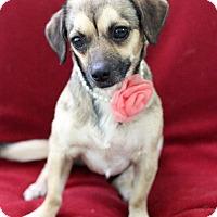 Adopt A Pet :: Chive - Dalton, GA
