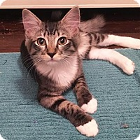 Domestic Longhair Kitten for adoption in Los Angeles, California - Olive