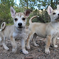 Adopt A Pet :: Hiccup - Alamogordo, NM