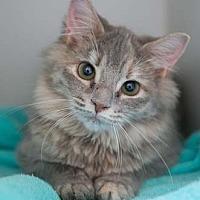 Domestic Longhair Kitten for adoption in Merrifield, Virginia - Tessa