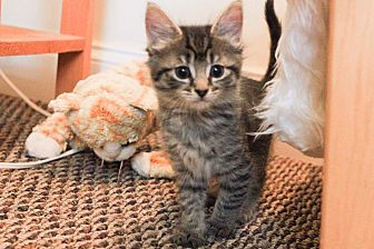 Domestic Mediumhair Kitten for adoption in Woodmere, New York - Sawyer