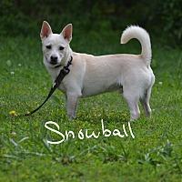 Adopt A Pet :: Snowball - Lebanon, MO
