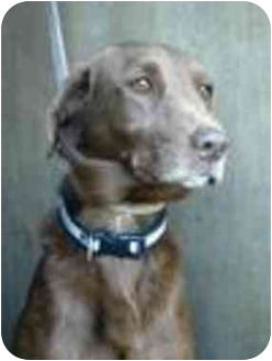 Retriever (Unknown Type) Dog for adoption in Vista, California - Daz