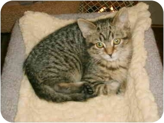 Domestic Shorthair Kitten for adoption in Newburgh, Indiana - Riley