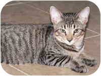Domestic Shorthair Kitten for adoption in Tampa, Florida - Tebow