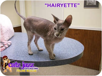 Sphynx Cat for adoption in Cedar Creek, Texas - Hairyette