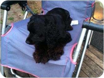 Cocker Spaniel Dog for adoption in Tumwater, Washington - Scarlet