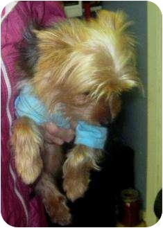 Yorkie, Yorkshire Terrier Dog for adoption in Conroe, Texas - Biscuit