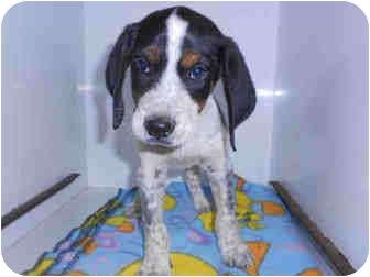 Bluetick Coonhound Mix Puppy for adoption in Yuba City, California - Hank 2