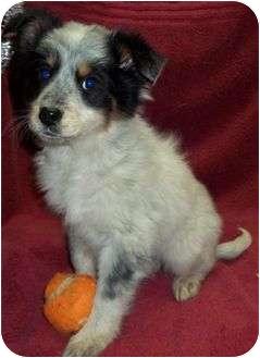 Australian Shepherd/Sheltie, Shetland Sheepdog Mix Puppy for adoption in Staunton, Virginia - Frenchie