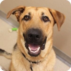 German Shepherd Dog Mix Dog for adoption in Naperville, Illinois - Howard