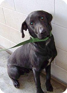 Labrador Retriever Dog for adoption in Florence, Indiana - Shadow