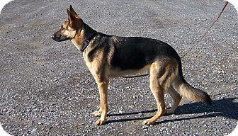 German Shepherd Dog Dog for adoption in Tully, New York - DRAGO