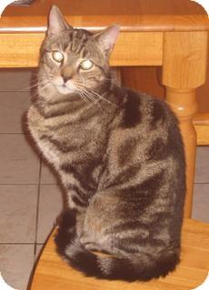 Domestic Shorthair Cat for adoption in Medford, Massachusetts - Python