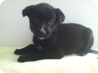 Shepherd (Unknown Type) Mix Puppy for adoption in Waldorf, Maryland - Rosie #318
