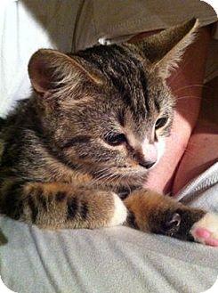 Domestic Shorthair Kitten for adoption in Long Beach, New York - Jetta