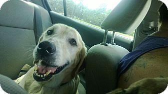 Labrador Retriever Dog for adoption in Sarasota, Florida - Allie