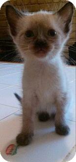 Siamese Kitten for adoption in Fort Worth, Texas - Sam