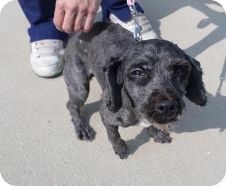 Poodle (Miniature)/Shih Tzu Mix Dog for adoption in Harrisonburg, Virginia - Alexis