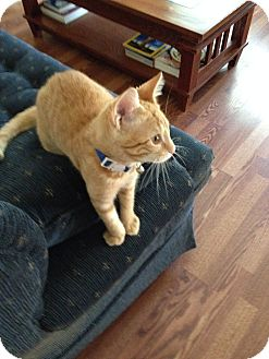 Domestic Shorthair Kitten for adoption in South Haven, Michigan - Wesley