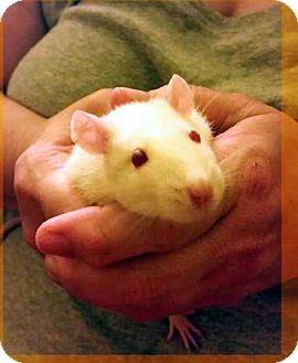 Rat for adoption in Philadelphia, Pennsylvania - LUCY of SCRANTON