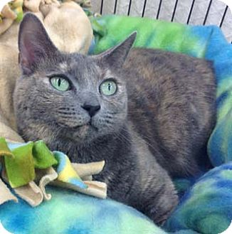 Calico Cat for adoption in Merrifield, Virginia - Sheba