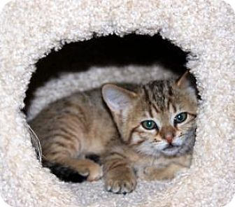 Domestic Shorthair Kitten for adoption in Edmonton, Alberta - Desi