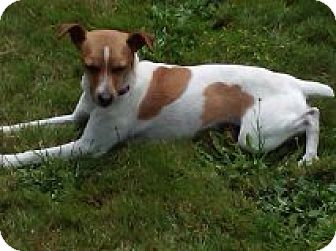 Rat Terrier Dog for adoption in Vancouver, Washington - Asia