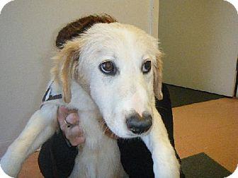 Golden Retriever/Chow Chow Mix Dog for adoption in Fort Walton Beach, Florida - Brandy