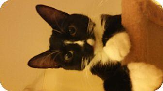American Shorthair Cat for adoption in Charlotte, North Carolina - Elsa