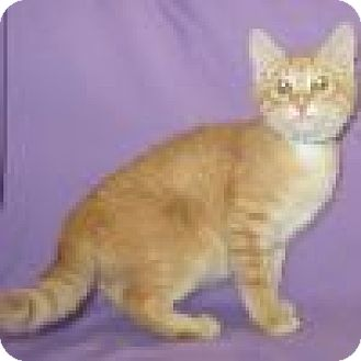 Domestic Shorthair Cat for adoption in Powell, Ohio - Ernie