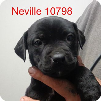 Boxer/Labrador Retriever Mix Dog for adoption in Greencastle, North Carolina - Neville
