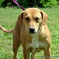 Beagle/Labrador Retriever Mix Dog for adoption in parissipany, New Jersey - JEWELS