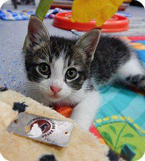 Domestic Shorthair Kitten for adoption in Austintown, Ohio - Potato